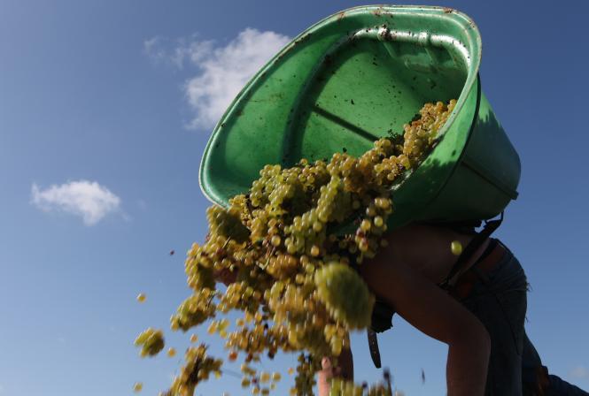 Vendanges en Val de Loire : un millésime précoce très qualitatif