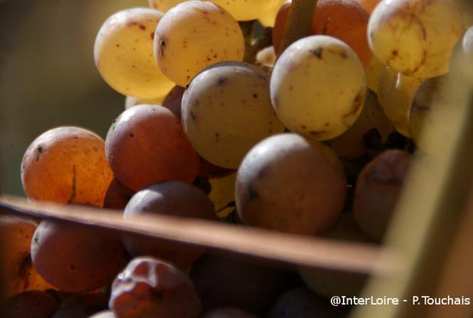 Moelleux : une botrytisation lente pour de grands vins