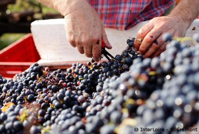 Millésime en Val de Loire : quand précocité rime avec qualité