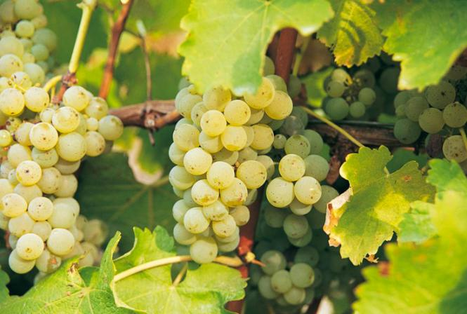 Sauvignon blanc : en route vers du nouveau matériel végétal !