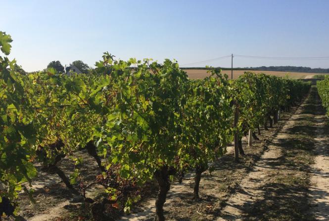 Evolution climatique : incidences sur le vignoble Centre-Loire