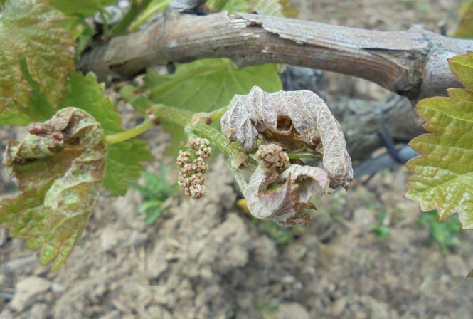 Gel dans le vignoble du Val de Loire - Bilan provisoire