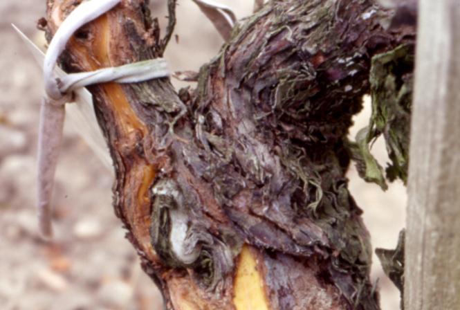 Etude de l'impact des maladies du bois sur le rendement et la qualité des vins