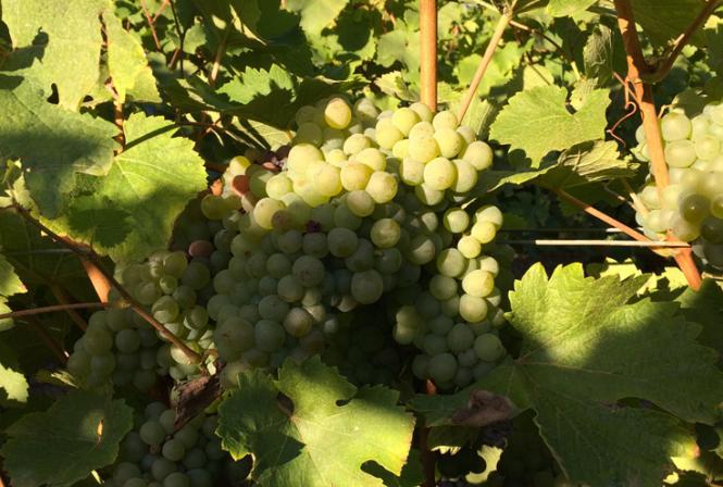 A la recherche de vieilles vignes de chenin