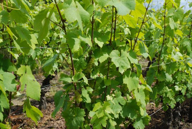 Que dire sur le vignoble en cette fin de campagne viticole ?
