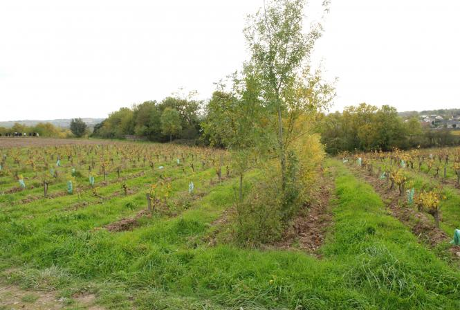 Agroforesterie : le VinOpôle veut apporter des réponses