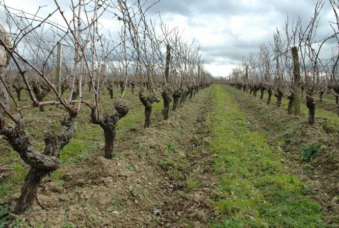 Vigne et stockage carbone: où en est-on?