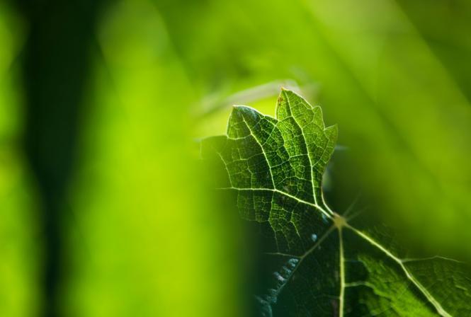 Premiers traitements: gérer l'oïdium, pas d'alerte en mildiou