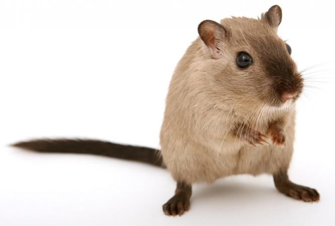 Le goût de souris, une déviation aromatique encore méconnue