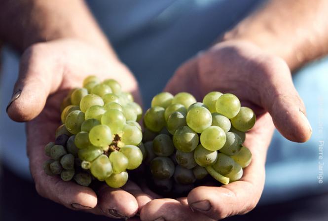 Qualité et hétérogénéité pour les premiers raisins blancs récoltés