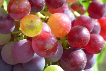 Très bon état sanitaire du vignoble