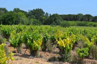 Le court-noué, sous-estimé en Val-de-Loire