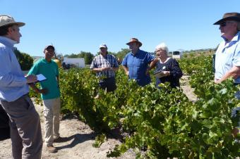 Prospection chenin dans le vignoble d'Afrique du Sud